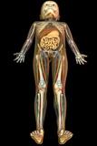 Internal Anatomy of a Child  Artwork