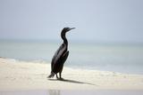 Socotra Cormorant