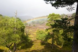 Rainbow Over a Scots Pine Forest