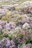 Ling Heather (Calluna Vulgaris)