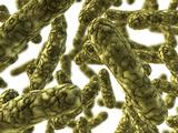 Rod-shaped Bacteria