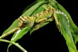 Borneo Forest Dragon Lizard