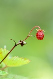 Wild Strawberry (Fragaria Vesca)