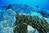 Coral Colonies