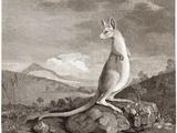 Kangaroo  18th Century Plate