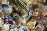 Polychaete Marine Worm
