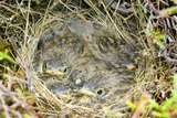 A Nest of Young Meadow Pipits