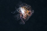 Amphipod Inside a Lion's Mane Jellyfish
