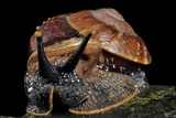 Bornean Giant Land Snail