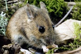 Wood Mouse Feeding