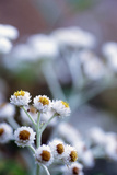 Pearly Everlasting (Anaphalis Sp)