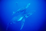 Humpback Whales with a Snorkeler