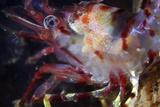 Polar Shrimp
