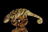Madagascar Giant Chameleon