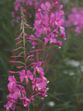Rosebay Willow-herb Flowers