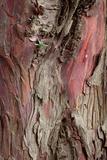 Yew Tree Bark