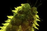 Marine Worm Fluorescing