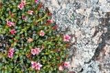 Trailing Azalea (Loiseleuria Procumbens)