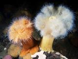 Plumose Sea Anemones