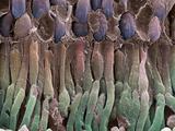 Retina Rod Cells  SEM