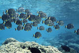 White-spotted Surgeonfish Shoal