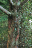 Yew Tree Trunk