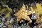 Common Starfish Feeding