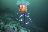 Lion's Mane Jellyfish And Navaga Fish