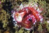 Polychaete Marine Worm  Japan