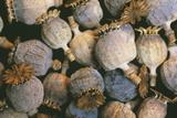 Dried Opium Poppies