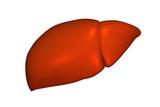 Liver  Artwork