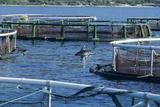 Dolphin Near Fish Pens