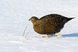 Female Red Grouse In Snow