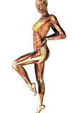 Female Musculature