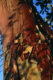 Madrone Tree Bark