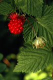 Salmonberry Fruit
