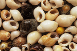Periwinkle Shells