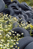 Scentless Mayweed Amongst Dumped Tyres