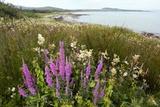 Coastal Wildflower Meadow  Scotland