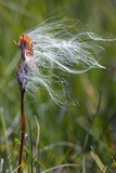 Cottongrass on a Bog Asphodel Seed-head