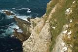 Northern Gannet Colony on Cliffs