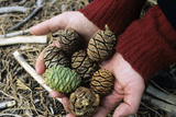 Giant Sequoia Cones