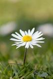 Common Daisy (Bellis Perennis)