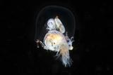 Amphipods Inside a Hydromedusa