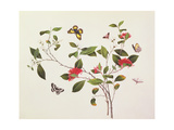 Plant Study with Butterflies and Insects  C1800