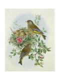 Greenfinch  1873