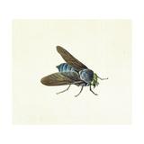 The Horsefly  18th Century