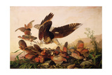 Red-Shouldered Hawk Attacking Bobwhite Partridges  1827