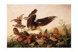 Red-Shouldered Hawk Attacking Bobwhite Partridges  1827
