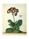 Primulaecae: a Flowering Polyanthus with a Flying Insect  1764